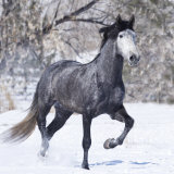 Grey Andalusian Stallion Running in Snow  Berthoud  Colorado  USA