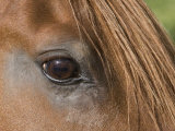 Close Up of Eye of Chestnut Peruvian Paso Stallion  Sante Fe  New Mexico  USA