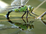 Female Emperor Dragonfly Laying Eggs at the Edge of a Pond Cornwall  UK