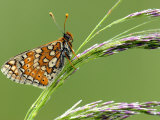 Marsh Fritillary Butterfly Resting on Grass  Vealand Fram Near Holsworthy  Devon  UK