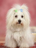 Coton De Tulear Dog Sitting Down
