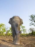 Asian Indian Elephant Bandhavgarh National Park  India 2007