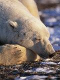 Polar Bear Resting  Churchill  Manitoba  Canada