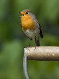 Robin Sitting on a Garden Fork Handle Singing  Hertfordshire  England  UK