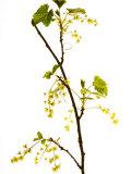 Wild Blackcurrant in Flower  April  Angus  Scotland  UK