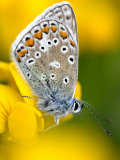 Common Blue Butterfly Cornwall Uk