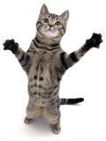 Brown Spotted Tabby Cat Male Standing and Reaching Up