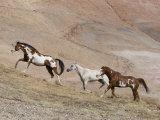 Two Paint Horses and a Grey Quarter Horse Running Up Hill  Flitner Ranch  Shell  Wyoming  USA