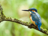Common Kingfisher Perched on Mossy Branch  Hertfordshire  England  UK