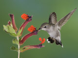 Anna's Hummingbird Female in Flight Feeding on Flower  Tuscon  Arizona  USA
