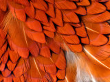 Male Pheasant Feathers  Devon  UK