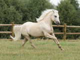 Palomino Welsh Pony Stallion Galloping in Paddock  Fort Collins  Colorado  USA