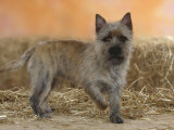 Cairn Terrier Standing with One Paw Raised