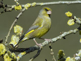 Male Greenfinch Amongst Pussy Willow Catkins  Hertfordshire  England  UK