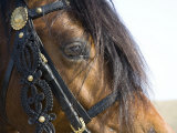 Bay Welsh Cobb Stallion  Close Up of Eye  Ojai  California  USA