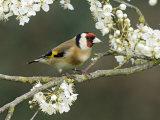 Goldfinch Perched Amongst Blackthorn Blossom  Hertfordshire  England  UK