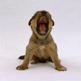 Lakeland Terrier X Border Collie  4-Week Puppy Yawning