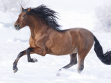 Bay Andalusian Stallion Running in the Snow  Berthoud  Colorado  USA