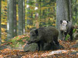 Captive Wild Boars in Autumn Beech Forest  Germany