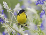 Lesser Goldfinch Black-Backed Male on Mealy Sage Hill Country  Texas  USA