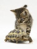 Silver Tabby Kitten Looking at a Hermann's Tortoise Walking