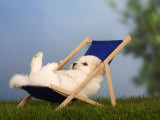 Coton De Tulear Puppy  6 Weeks  Lying in a Deckchair