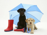 Yellow and Chocolate Retriever Pups with Wellies under a Blue Umbrella
