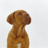 Dogue De Bordeaux Dog Puppy  15 Weeks Old  Sitting and Looking Up