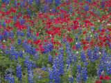 Texas Bluebonnet and Drummond's Phlox Flowering in Meadow  Gonzales County  Texas  Usa  March 2007