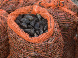 Common Mussels Freshly Harvested in Sacks  North Norfolk  England  UK