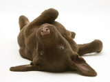 Chesapeake Bay Retriever Dog Pup  Teague  9 Weeks Old  Rolling on the Ground