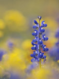 Texas Bluebonnet in Field of Wildflowers  Gonzales County  Texas
