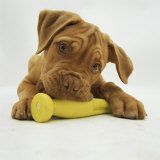 Dogue De Bordeaux Puppy Chewing on Toy  15 Weeks