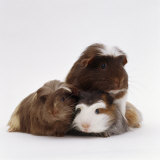 Brownhead Sow Guinea Pig with Two Four-Week Babies  UK