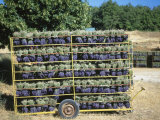 Drying Cut Lavander Flowers after Harvest  Sault  Provence  France  June 2004