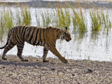 Bengal Tiger Walking by Lake  Ranthambhore Np  Rajasthan  India