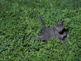 Russian Blue Cat Lying on Plants in a Garden  Italy