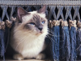 Birman Cat Amongst Tassles under Furniture