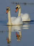 Two Mute Swans  Hornborgasjon Lake  Sweden