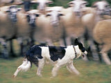 Sheepdog Rounding Up Domestic Sheep Bergueda  Spain  August 2004