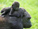 Western Lowland Gorilla Mother Carrying Baby on Her Back Captive  France