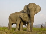 Indian Elephant Mother with 5-Day Baby and its Older Sibling  Controlled Conditions  Assam  India