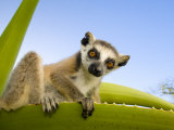 Ring-Tailed Lemur Looking Down from Large Spiney Plant  Itampolo  South Madagascar