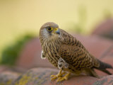 Lesser Kestrel Female on Roof Tiles  South Spain