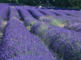 Field of Lavander Flowers Ready for Harvest  Sault  Provence  France  June 2004