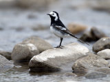 Pied Wagtail Male Perched on Rock in Stream  Upper Teesdale  Co Durham  England  UK