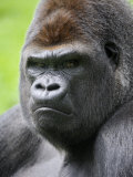 Male Silverback Western Lowland Gorilla Head Portrait  France