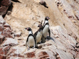 Humboldt Penguins on Isla Ballestas  Ballestas Islands  Peru