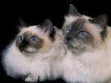 Two Birman Cats Showing Deep Blue Eyes