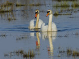 Two Mute Swan on Water  Hornborgasjon Lake  Sweden